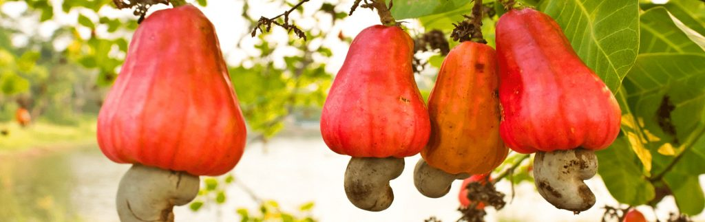 Cashew nuts : Madagascar exports the best quality