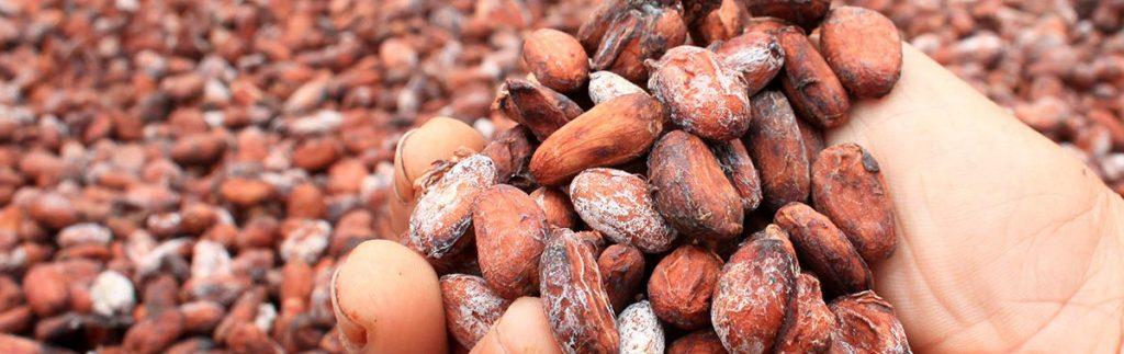 Madagascar Cocoa bean : Fine quality